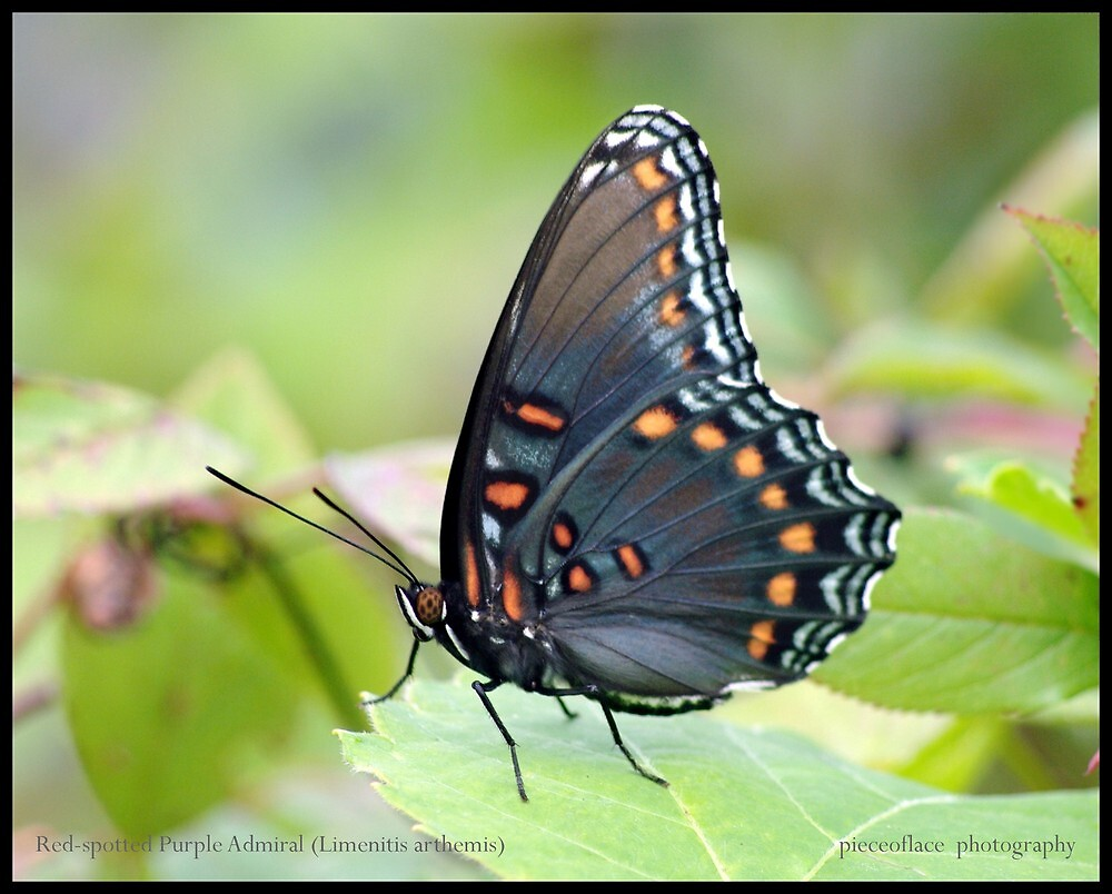 Red-spotted Purple Admiral butterfly... by pieceoflace