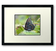 Red-spotted Purple Admiral butterfly... Framed Print