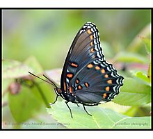Red-spotted Purple Admiral butterfly... Photographic Print