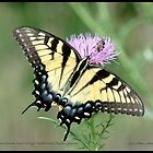 Female Eastern Tiger Swallowtail butterfly... by pieceoflace