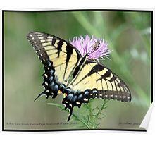Female Eastern Tiger Swallowtail butterfly... Poster