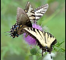 Eastern Tiger Swallowtails on thistle... by pieceoflace