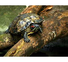 The Red-Eared Slider   Photographic Print