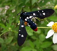 Polka Dotted Wasp Moth by dgrimmy