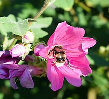 Bee on Beautiful Pink Flower by InterestingImag