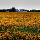SUNFLOWER SPLENDOR by Larry Trupp