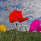 Poppie in the wind by Alan Findlater