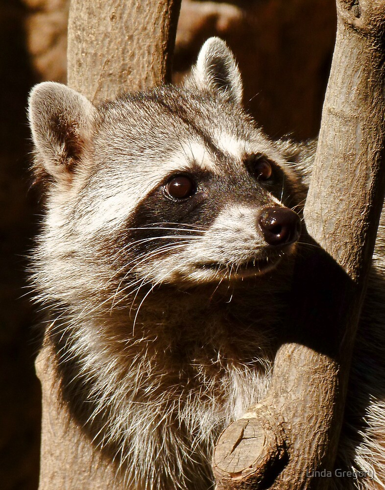 Rocky Raccoon by Linda Gregory