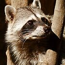 Rocky Raccoon by Linda Gregory