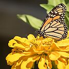 Monarch On Zinnia by Thomas Young