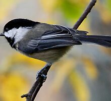 Chickadee in Autumn: Ready to Spring by Wolf Read