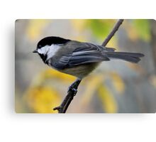 Chickadee in Autumn: Ready to Spring Metal Print