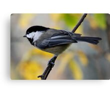 Chickadee in Autumn: Ready to Spring Canvas Print