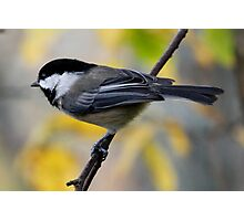 Chickadee in Autumn: Ready to Spring Photographic Print