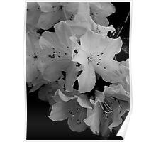 White Azalea Poster