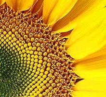 Sunflower #2 by Jennifer Hulbert-Hortman