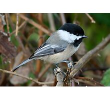 Chickadee in Autumn: Double Grip Photographic Print