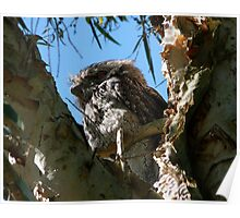 A Slightly Bigger Frogmouth Poster