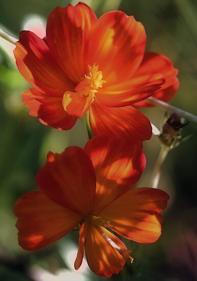 Orange Cosmos - In The Shadows by T.J. Martin