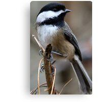 Chickadee: Macro View of a Spritely Bird Canvas Print