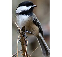 Chickadee: Macro View of a Spritely Bird Photographic Print