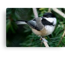 Chickadee: Among Feathery Evergreen Boughs Canvas Print