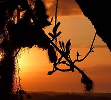 """Banksia Silhouette"" by debsphotos"