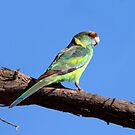 Australian Ringneck (Mallee) by Kerryn Ryan, Mosaic Avenues