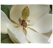 Magnolia Up Close Poster