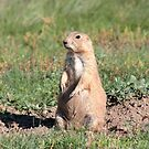 Prairie Dog by Daniel Owens