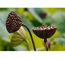 Sacred Lotus Pods Photographic Print