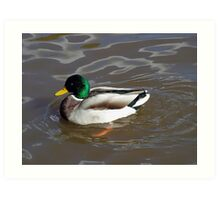 Duck on pond Art Print