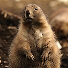 I Wasn't Digging - Prairie Dog by Derek McMorrine