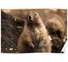 I Wasn't Digging - Prairie Dog Poster