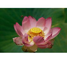Sacred Lotus Photographic Print