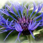 A Blue Cornflower. by Aj Finan