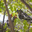red wattlebird chicks by col hellmuth