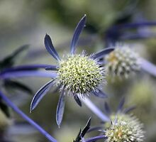 Sea Holly by WalnutHill