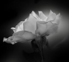 Glowing White Rose by Christina Sauber