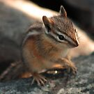 Chipmunk by Daniel Owens