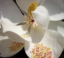 Magnolia by Decaire