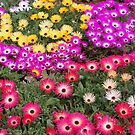 Livingston Daisies by Chanzz