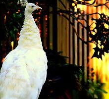 'Albino Peacock' by Mikaela Fox
