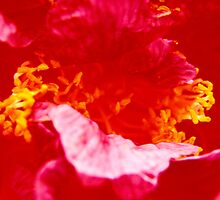 flamenco...bold, strong, colorfull by byzantinehalo