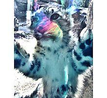 Baby snow leopard Photographic Print