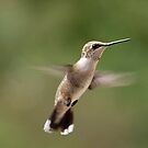 Female Ruby Throated Hummingbird by barnsis