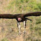 Hooded vulture in flight by jozi1