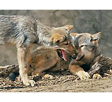 Best Friends (Grey Wolves) Photographic Print