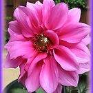 Vibrant Pink Dahlia - Vignette by BlueMoonRose