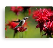 The Hummer & The Bee Balm Canvas Print